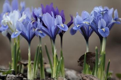 цветы, весна, букет, крокус