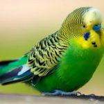 Советы, как правильно кормить домашних птиц