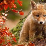 Дитячі віршики про лисицю