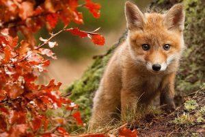 лисичка, лис, лисеня, лисиця