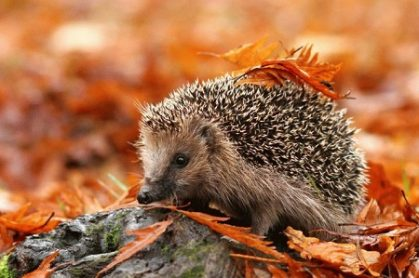 ежик, еж, животные, лес, осень, їжак, їжачок