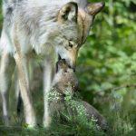Дитячі віршики про вовка