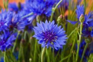 василек, волошки, цветы, природа, трава, лето