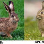 Цікаво для дітей: чим відрізняється заєць від кролика?