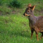 Цікаво для дітей: зовнішній вигляд та особливості життя оленя пуду
