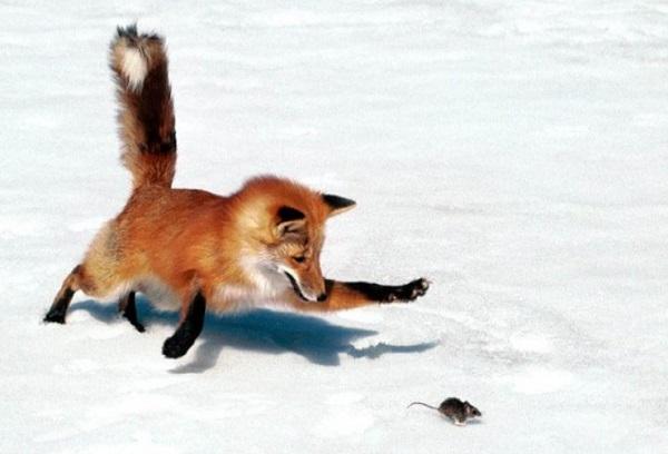 лисица, животные, зима