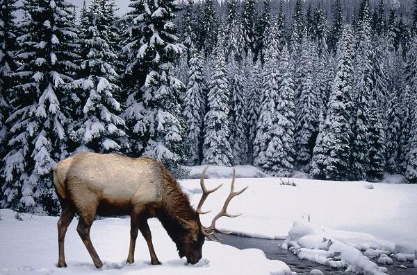лось, зима, животные, лес