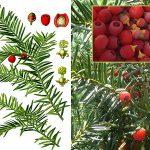 Дерева з Червоної книги України: тис ягідний