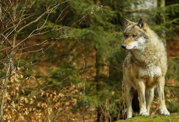 волк, вовк, животные, лес