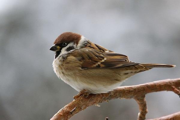 воробей, птицы, природа, зима