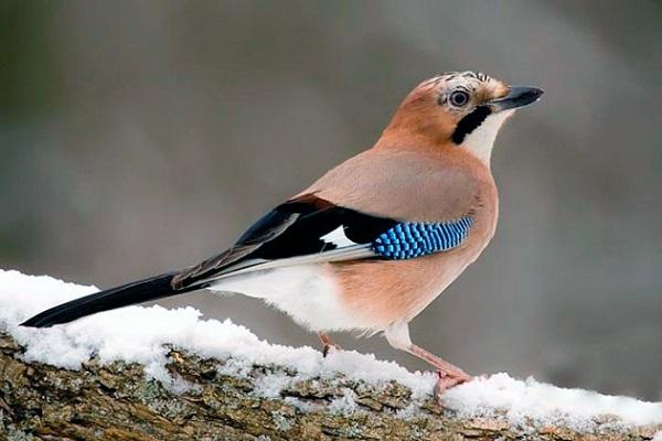 сойка, птицы, зима, природа