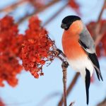 Зимові птахи України: опис, фото