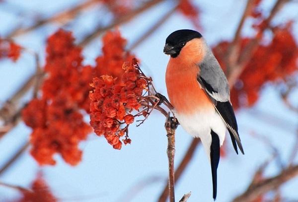 снегири, зима, природа, птицы