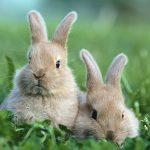 Які гілочки можна давати кроликам
