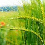 Українська застільна пісня «Ой зелене жито, зелене»: слова та музика