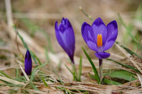 крокус, рослина, весна, природа