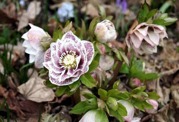 морозник, квіти, весна, рослини, природа, літо, первоцвіти