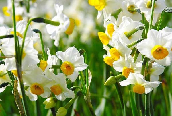 нарцис, квіти, весна, рослини, природа, літо, первоцвіти