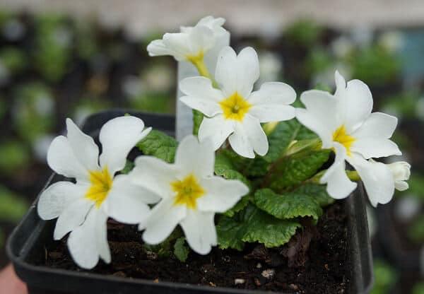 примула, квіти, весна, рослини, природа, літо, первоцвіти