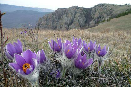 сон трава, простріл, рослини, природа, квіти весна