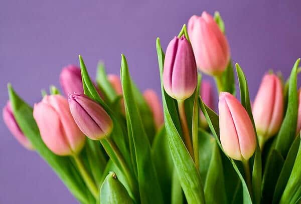 тюльпани, 8 березня, букет, квіти, весна, рослини, природа, літо, первоцвіти