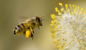 пчела, насекомое, комаха, цветы