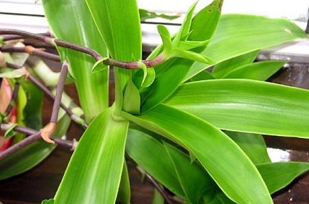 женьшень, растения