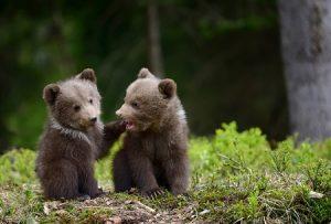 медведь, животные, лес