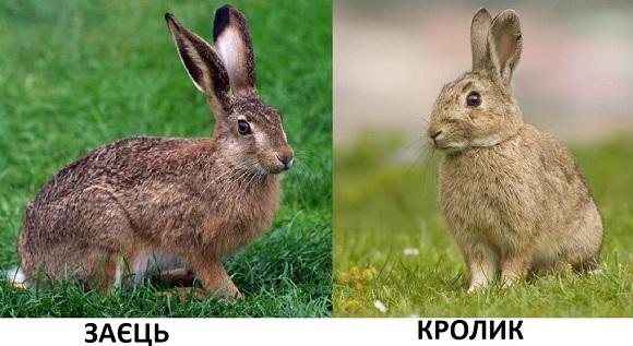 заєць, кролик, тварини
