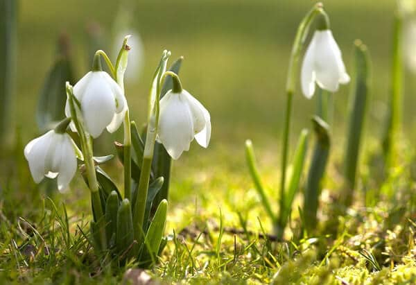 підсніжник, квіти, весна, рослини, природа, літо, первоцвіти