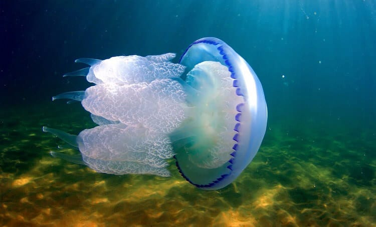 Медуза, медузи